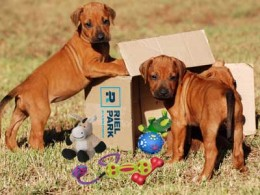 Two puppies with toys playing in box