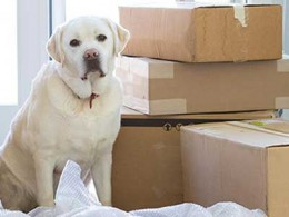 Labrador Dog beside some boxes